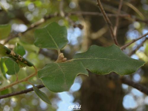 Chêne vert(Quercus ilex)