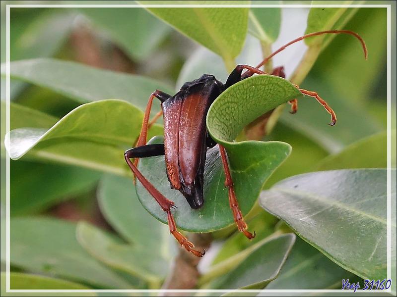 Longicorne (Mastododera nodicollis) - Nosy Sakatia - Madagascar