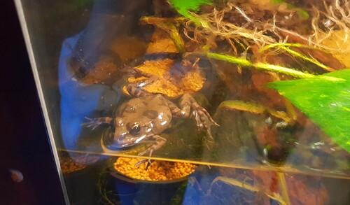 Grenouilles dans leur Aquarium à l'Aquarium du Bugue
