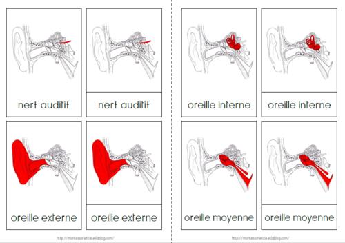 Nomenclatures : Anatomie de l'oreille