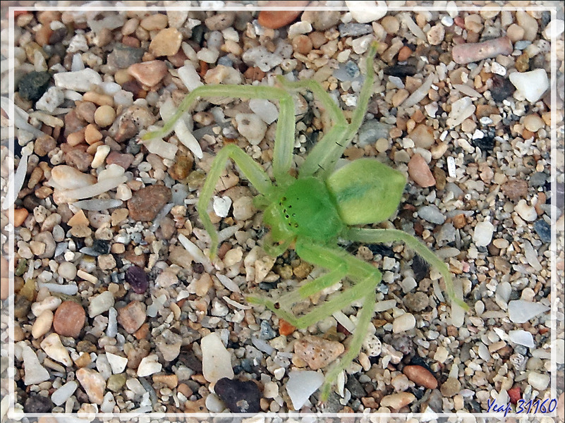 Une araignée verte, qui courait sur la plage .... Araignée crabe du genre Micrommata - Nosy Sakatia - Madagascar