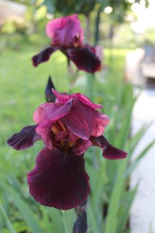 Iris grenat 'Spectacular Bid' de Bourdillon