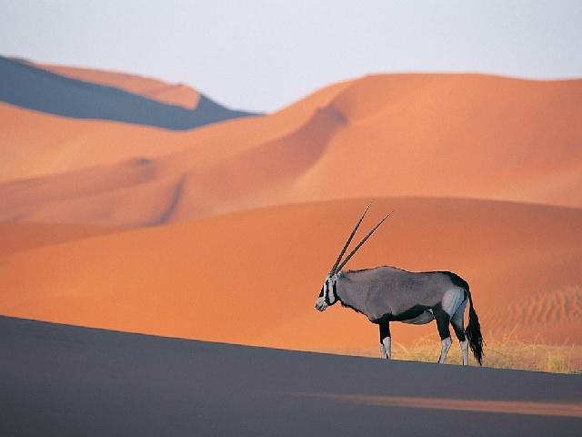 un oryx