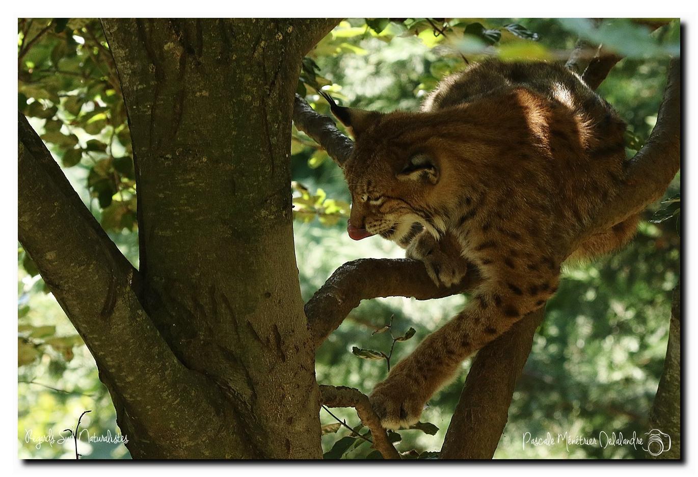 Lynx (Parc animalier des Pyrénées)