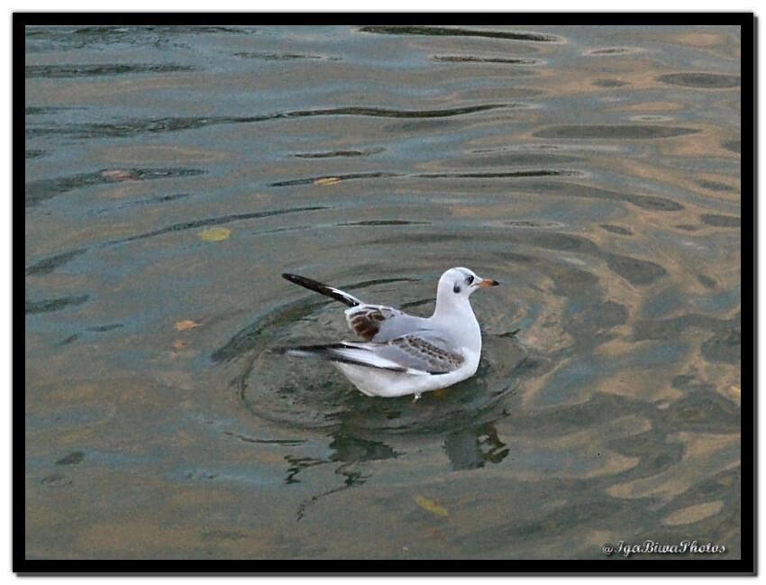 Mouette sur la rivière