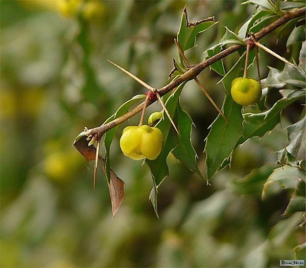 Arbuste Piquant A Petites Fleurs Jaunes Berberis Berberidacees