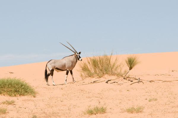 Gemsbok ou oryx gazelle
