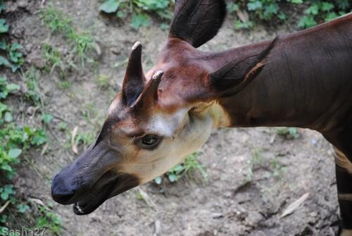 (30) L'okapi.