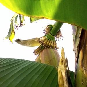 Les bananes (ou doigts) se forment  sur un coussinet formé par le rachis (l'axe) - 31 Juillet 2014