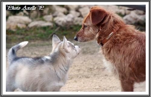 Husky et Fox