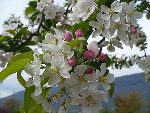 arbres en fleurs 4