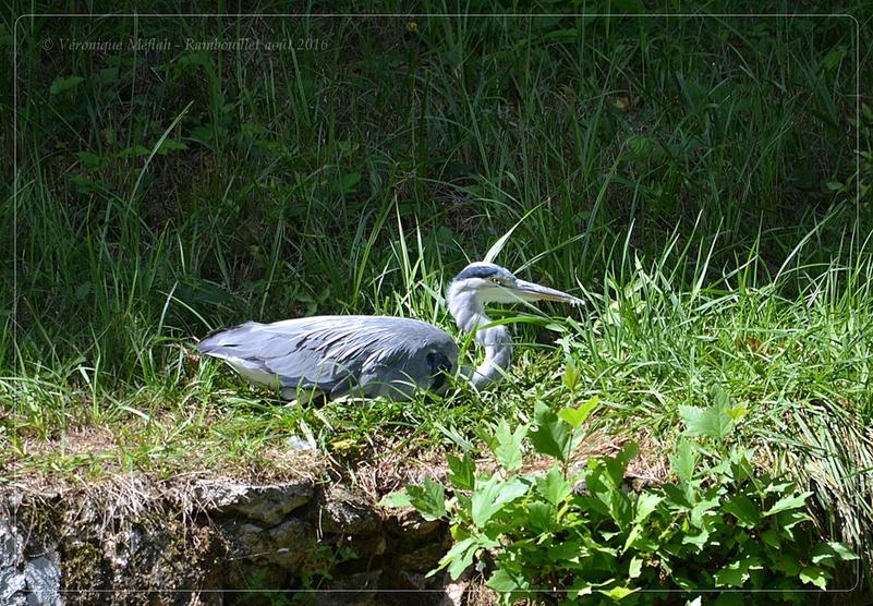Promenade dans le Parc du château de Rambouillet : Héron cendré