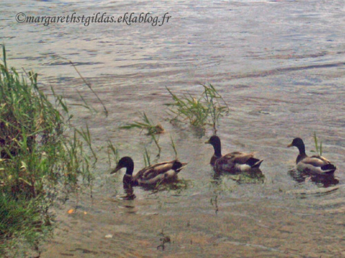 Il n'y a pas que les canards... - There are not only ducks...