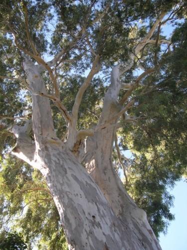 eucalyptus thuret