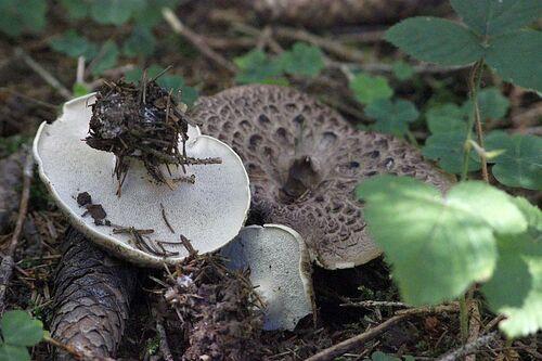 hydne imbriqué - langue de boeuf - sarcodon imbricatum (comestible jeune)