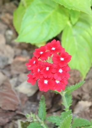 Verveine des jardins ou Verbena X Hybrida