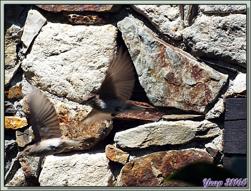 Gobemouche gris (Muscicapa striata) + méthode de prise de vue - Lartigau - Milhas - 31  (Faune)