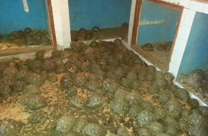 Madagascar : saisie de 10 000 tortues radiées, une espèce protégée