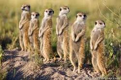 Exposé sur les suricates