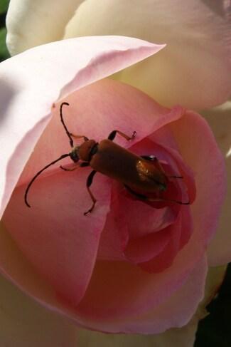 Longicorne- lepture rouge femelle Stictoleptura rubra