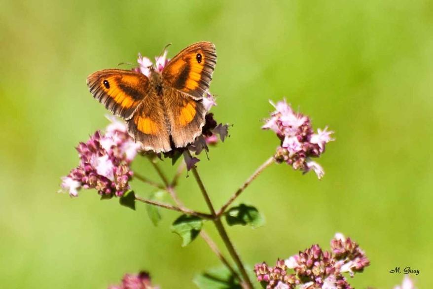 papillon-amaryllis-7566.jpg