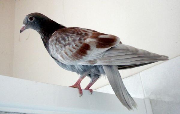 pigeon-titi.JPG