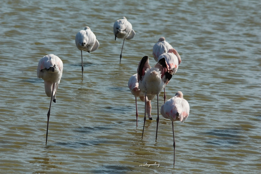 Flamants....