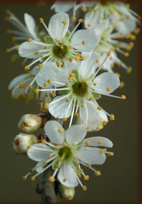 Vertus médicinales des arbres : Prunellier