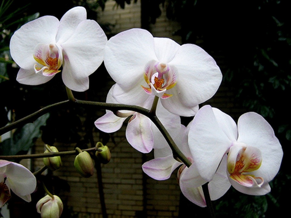 orchidee blanche et rose signification