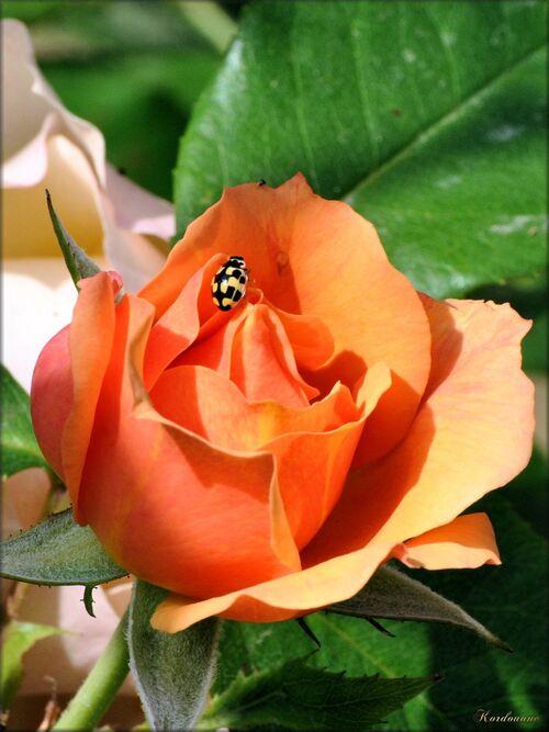 Photos de la roseraie du parc floral de la Court d'Aron
