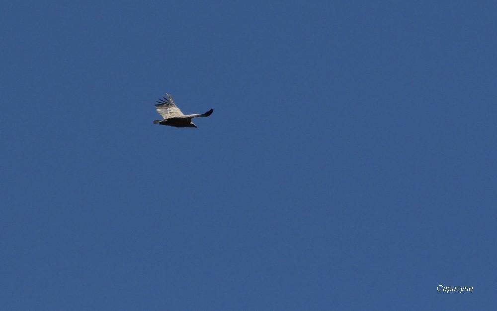 Juillet 2016  : 5 - haute-Maurienne  de plumes et de poils...