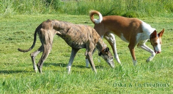 my-spanish-greyhound---ibizan-podenco-Oska---Co-Creations.jpg