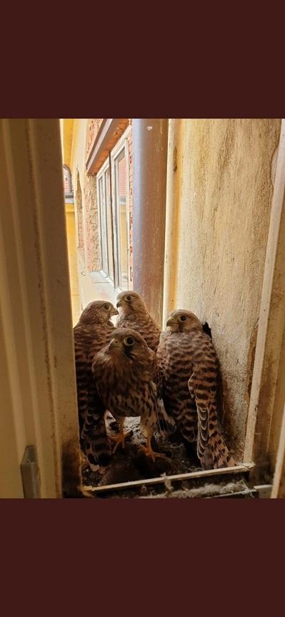 La vie d'une nichée de faucons ...