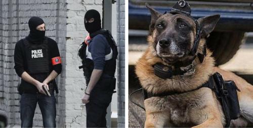 Fusillade à Bruxelles : un chien policier avec une caméra pris pour cible par un terroriste