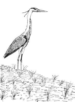 dessin-heron-cendre.jpg