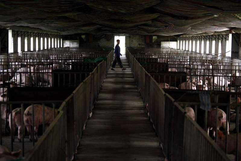 Peste porcine : la Chine accusée d'enterrer vivants des cochons infectés