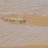 Burkina Crocodile au bord du barrage sur la route de Yako