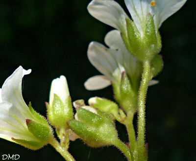Saxifraga granulata  -  saxifrage granulé