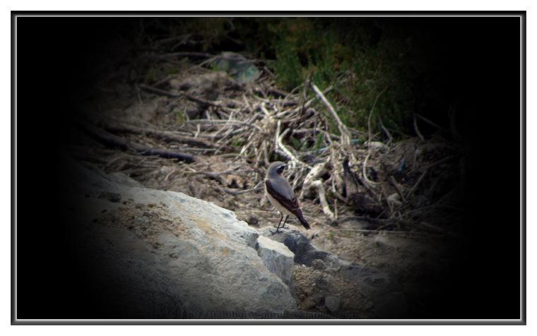 Le Traquet Motteux