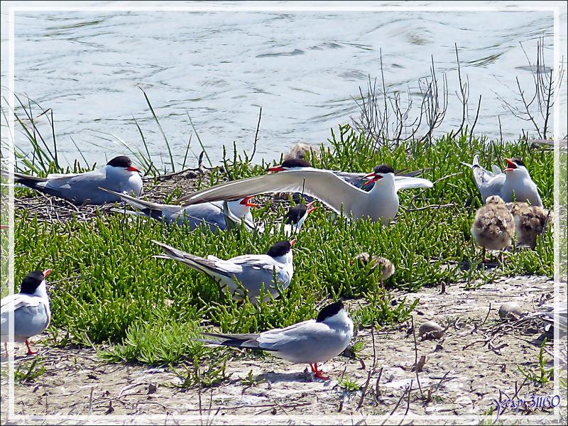 L'îlot aux Sternes pierregarins (hirondelles de mer) - La Couarde-sur-Mer - Île de Ré - 17