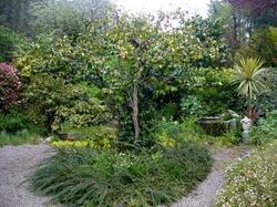 Camellia centenaire, rajeuni