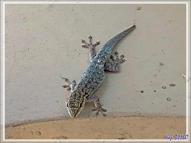 Gecko indéterminé (corps bleu clair) - Victoria Falls - Zimbabwe