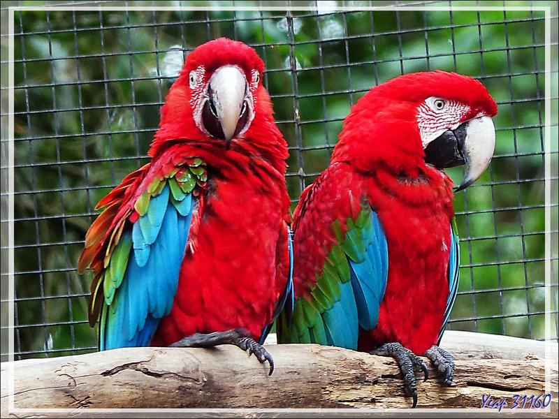 Ara chloroptère, Red-and-green Macaw (Ara chloropterus) - Parque das Aves - Foz do Iguaçu - Brésil