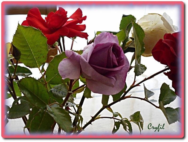 Quelques roses du jardin