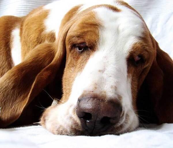 Races de chiens:  Basset Hound