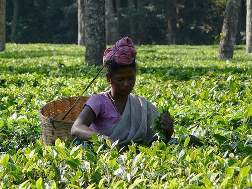 cueilleuse de thé dans l'Assam