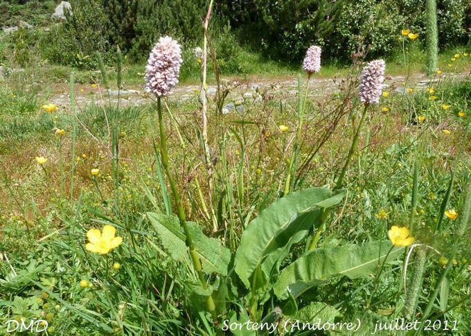 Polygonum bistorta - Persicaria bistorta - Renouée bistorte
