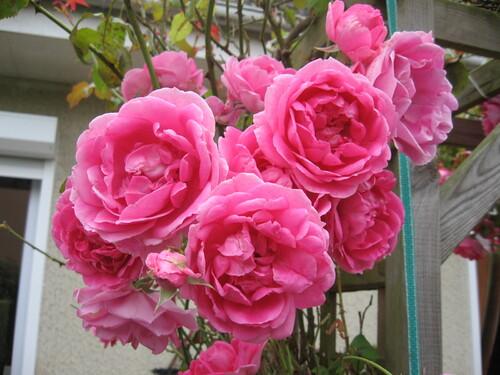 GRAPPES DE ROSES