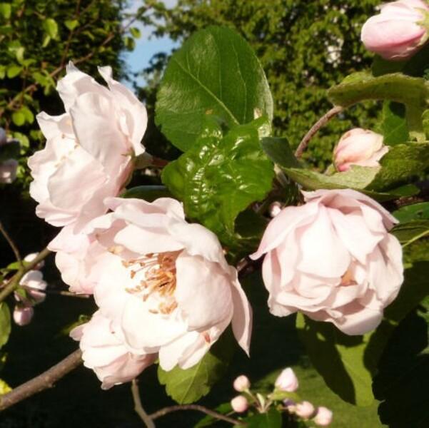 malus-charlottae---bouquet-de-fleurs---mai-2014.jpg