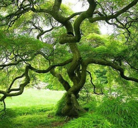 arbre araignee japon